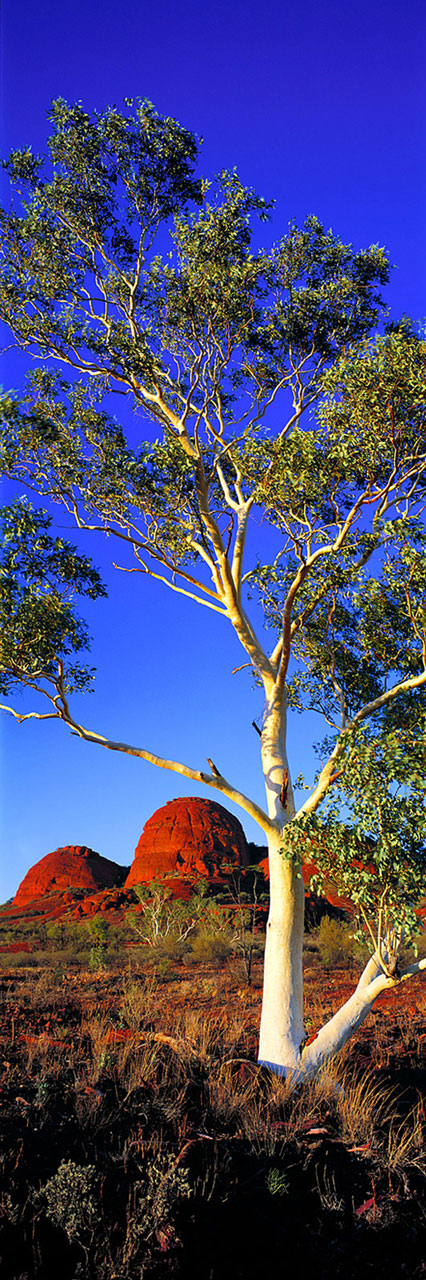 Early morning catches the bark of a ghost gum and the domes of Kata Tjuta in full splendour. I had the permission of local Aboriginal elders to photograph here, and it was out of respect for their traditional beliefs that I purposely included more than just one of Kata Tjuta's domes in the composition. But this was back in the days before bureaucrats began over-regulating this national park. Nowadays, ninety-five percent of the Kata Tjuta area, including the location pictured here.