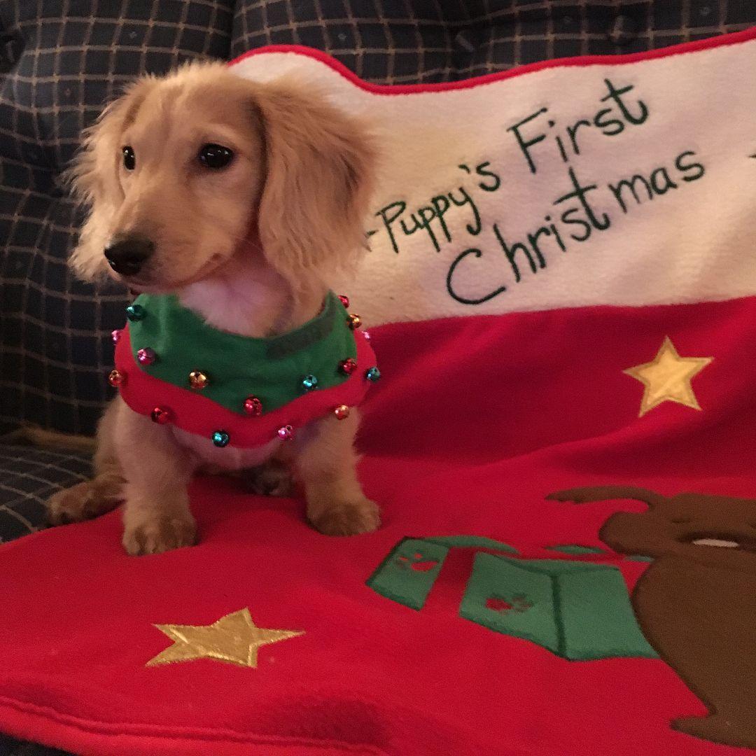 Christmas Sausage Dog Christmas Dachshunds Christmas Doxies Christmas Doxie Dogs Christmas Weiner Dogs In 2020 Dachshund Christmas Dachshund Love Long Haired Dachshund