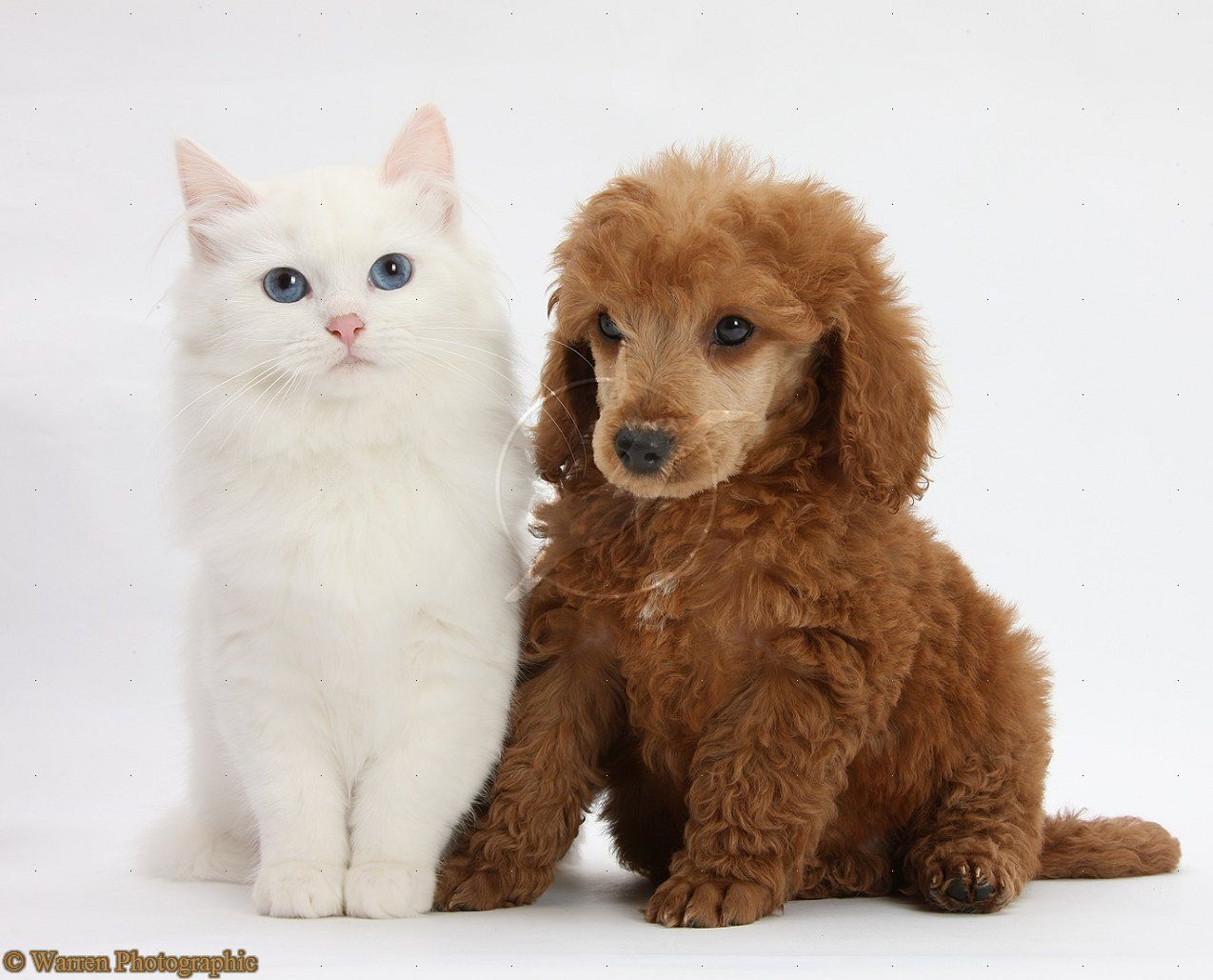 So cute Miniature poodle, White kittens