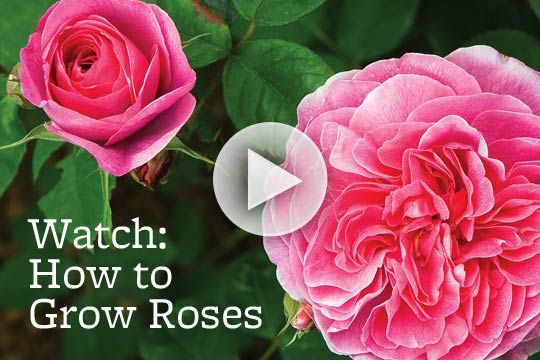 Love roses? Learn expert tips for growing them in your garden: http://www.bhg.com/videos/m/69671479/how-to-grow-roses.htm