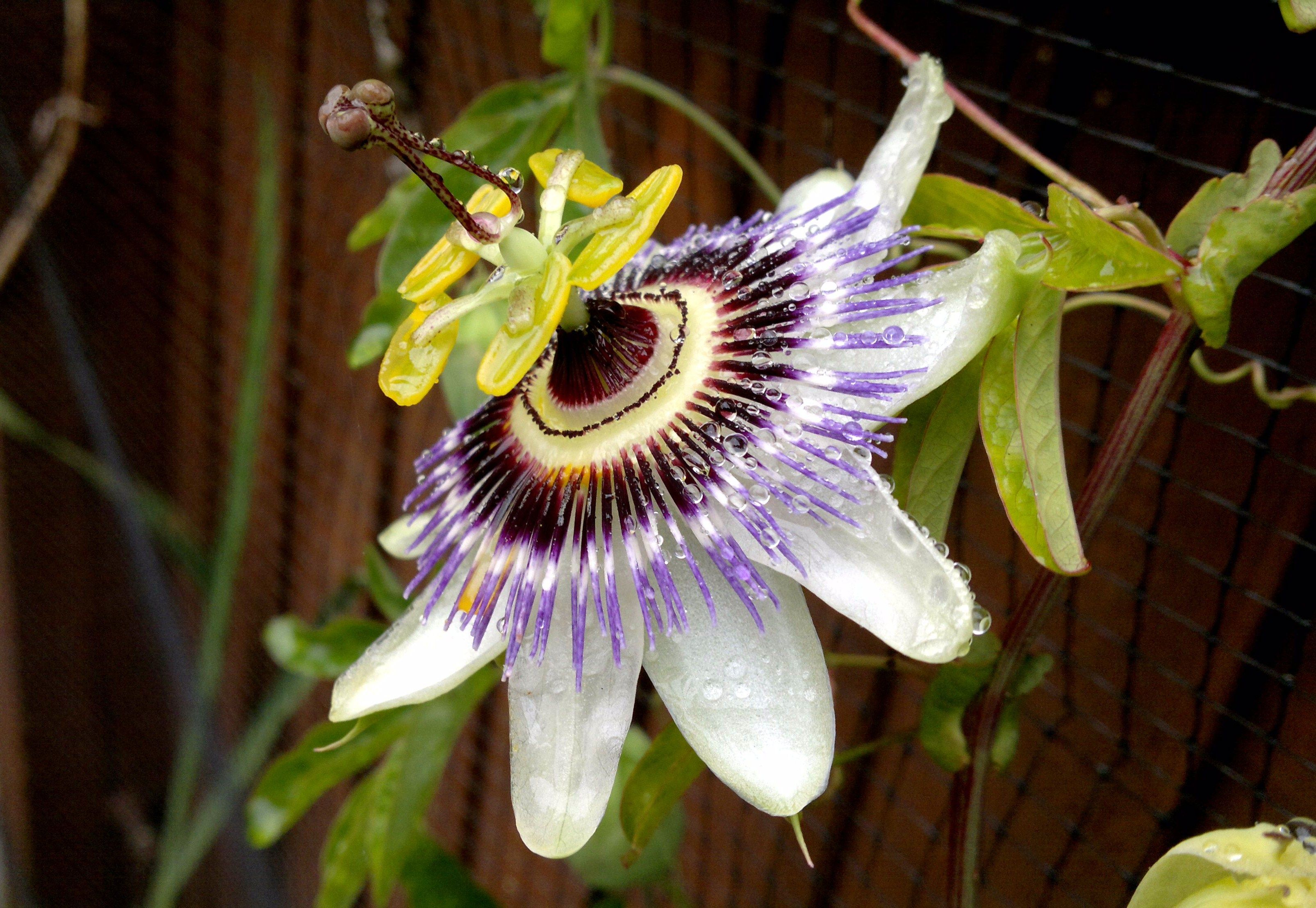 This Is A Passion Flower From My Garden An Exquisite Flower Did You Know They Bloom At Midnight Passion Flower Garden Flowers