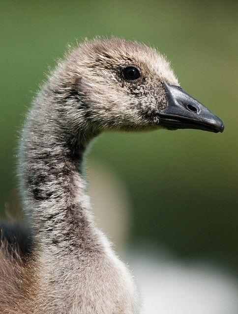 Gosling Up Close Aquatic Birds Beautiful Birds Canada Goose