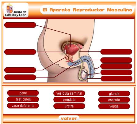 El Aparato Reproductor Masculino Anatomía Del Aparato Reproductor Femenino Cuerpo Humano Anatomia Y Fisiologia