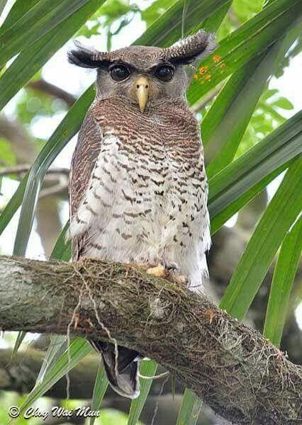 Barred Eagle Owl (Bubo sumatranus) in Malaysia by Choy Wai Mun.