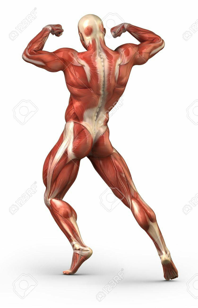 Pin by Marlene Reichel on Muskel Anatomie | Pinterest