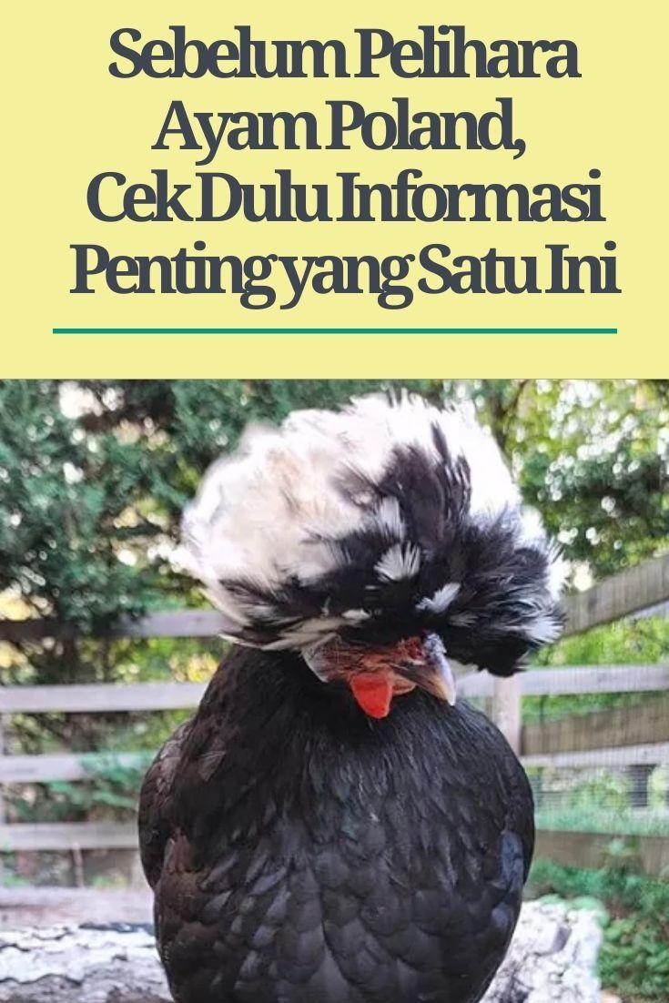 Sebelum Pelihara Ayam Poland, Cek Dulu Informasi Penting