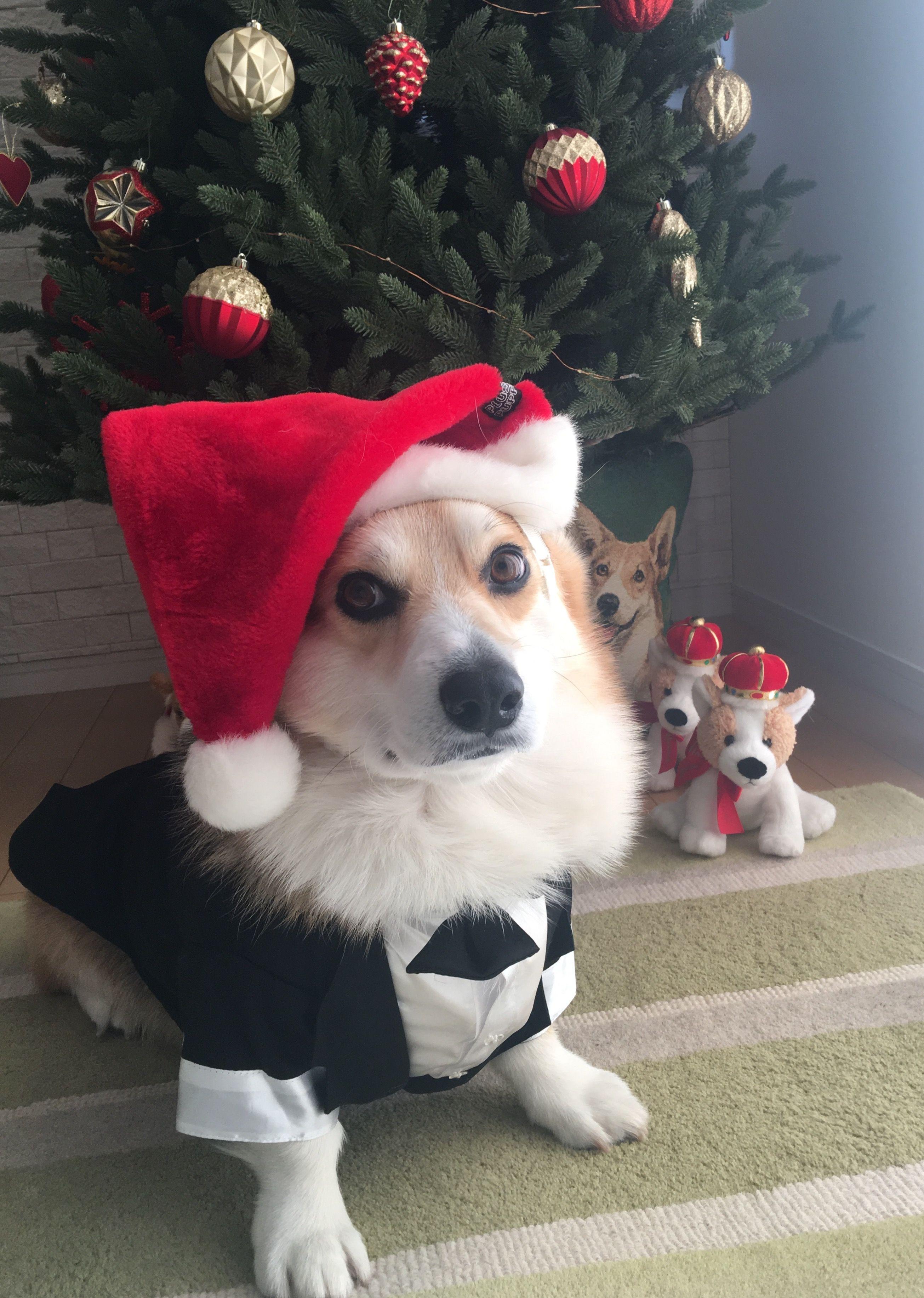 942f40c5 Christmas Corgi Merry Christmas Dog, Christmas Animals, Corgi Toys, Corgi  Mix, Cardigan