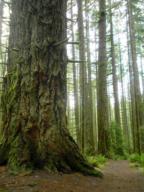 a massive old-growth douglas fir in silver falls state park, oregon