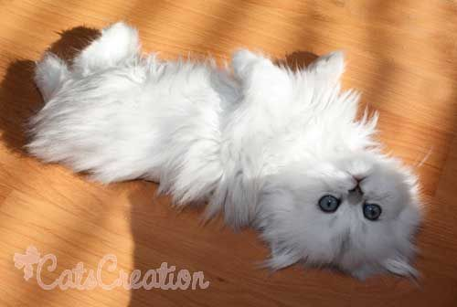 Silver Persian Kitten - I have always wanted one but I don't