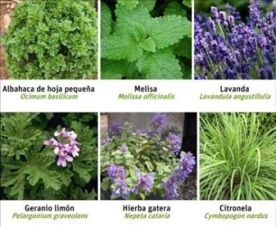 Plantas que ahuyentan a los mosquitos plantas que - Plantas ahuyenta insectos ...