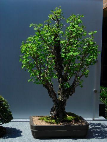 RK:Chicago Botanic Garden Collection Ginko Bilboa - Maidenhair Tree