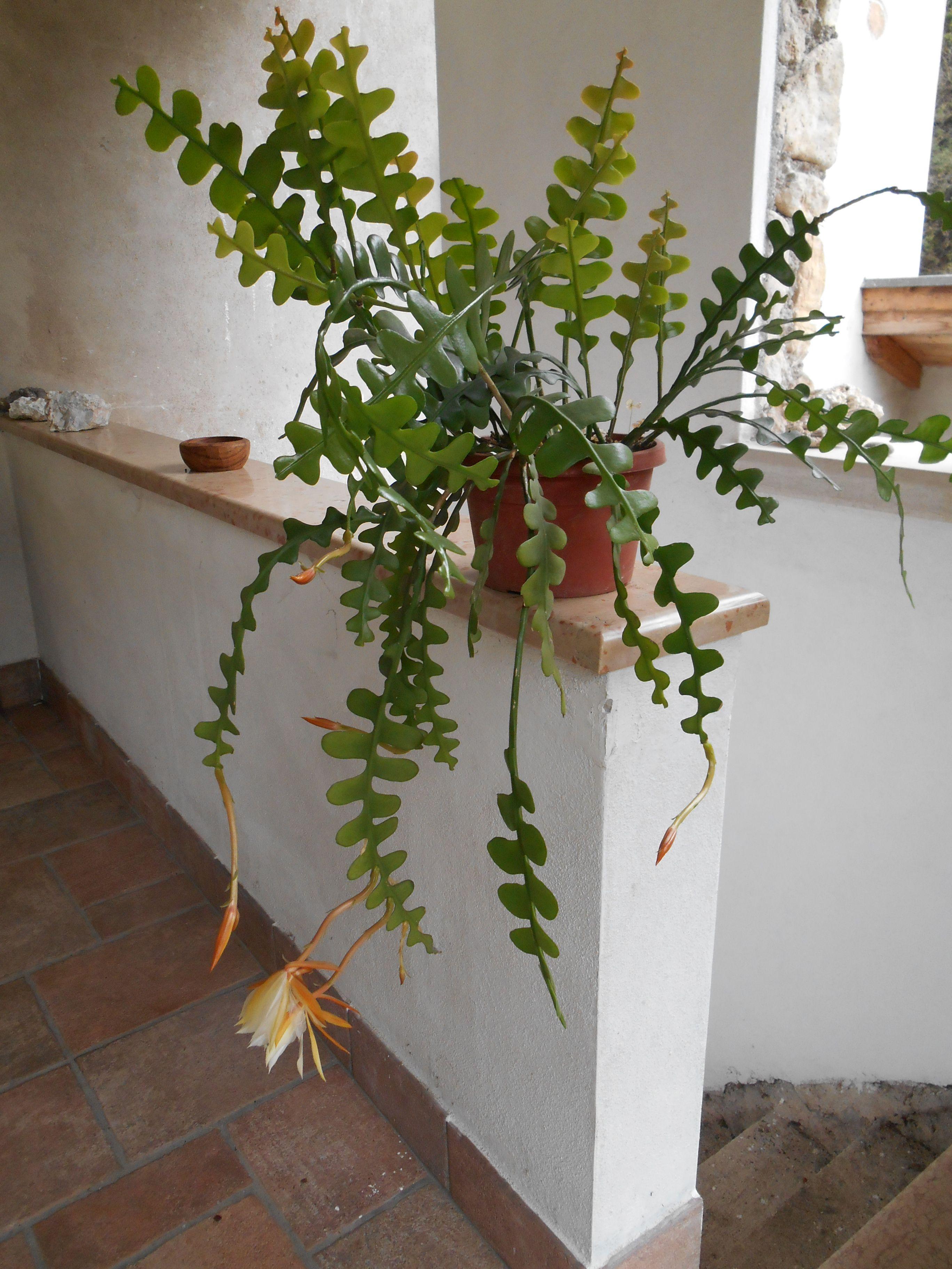 epiphyllum anguliger platiii pinterest jardins. Black Bedroom Furniture Sets. Home Design Ideas
