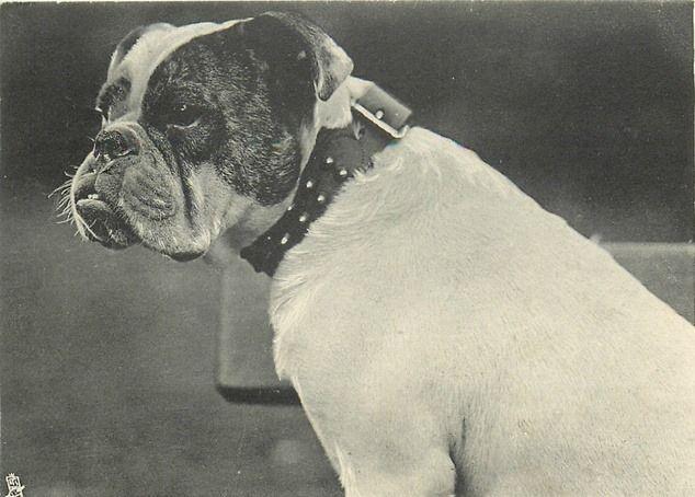 1903 English Bulldog