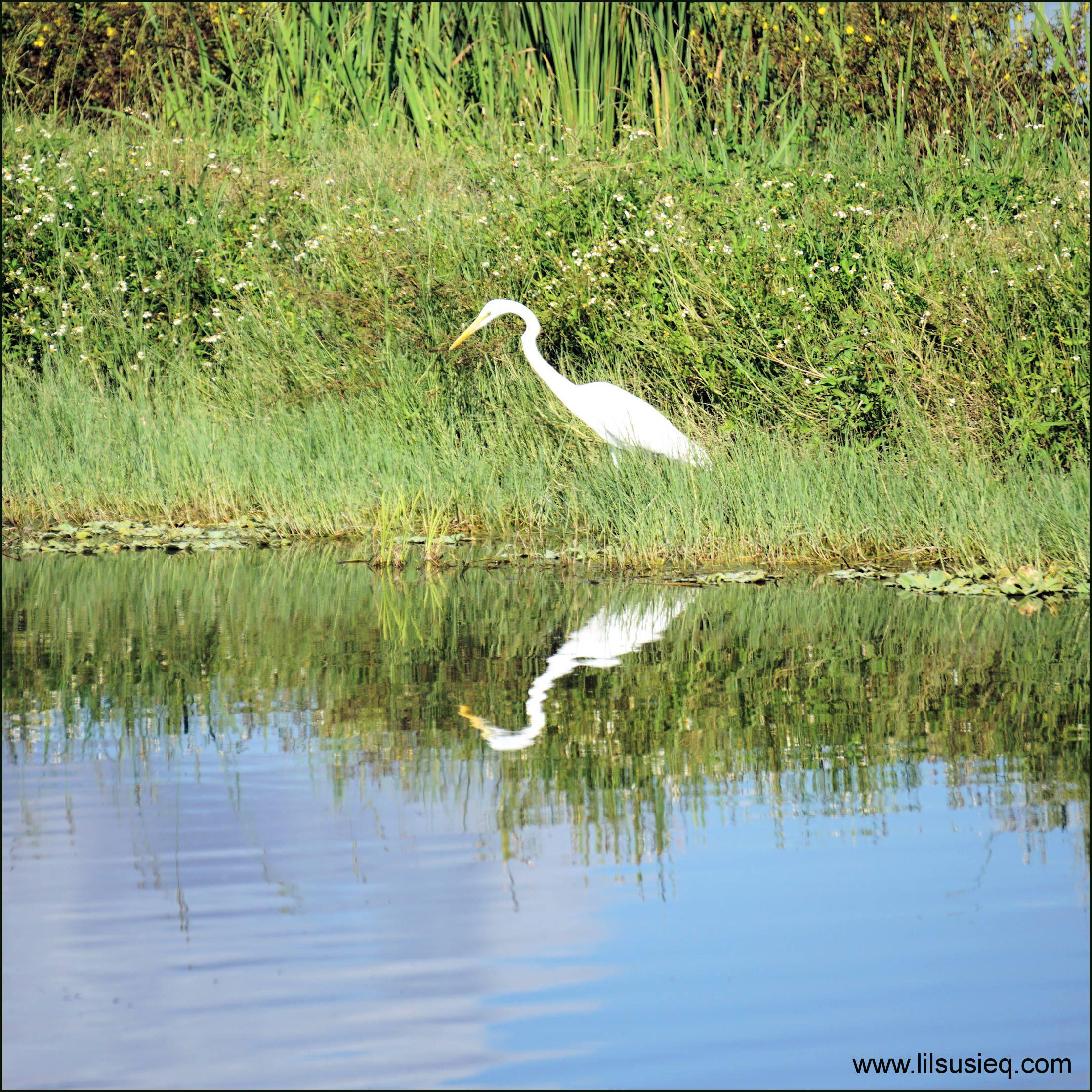 Lake Apopka North Shore: #wildlife #lake_apopka #newtonpark #lake_apopka #lawd