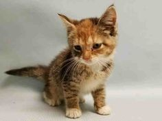 SAFE!!!- REIA - A1093542 - - Manhattan  ***TO BE DESTROYED 10/17/16*** 4 WEEK OLD REIA WAS BROUGHT TO THE SHELTER YESTERDAY FOR A PET'S CONFLICT AND TODAY SHE IS ON THE KILL LIST ALREADY!!! The ACC doesn't waste any time in killing owner surrenders, even when they are a 4 week old cutie pie like REIA. REIA was given to her owner by someone else. Thanks to her owner having no clue on how to properly introduce cats, she dumped REIA in the ACC because she thought her adult