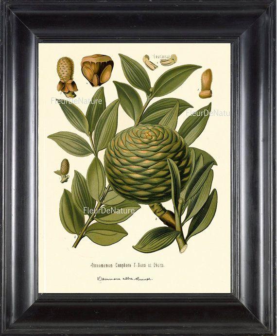 BOTANICAL PRINT Kohler 8x10 Botanical Art Print 3 by FleurDeNature