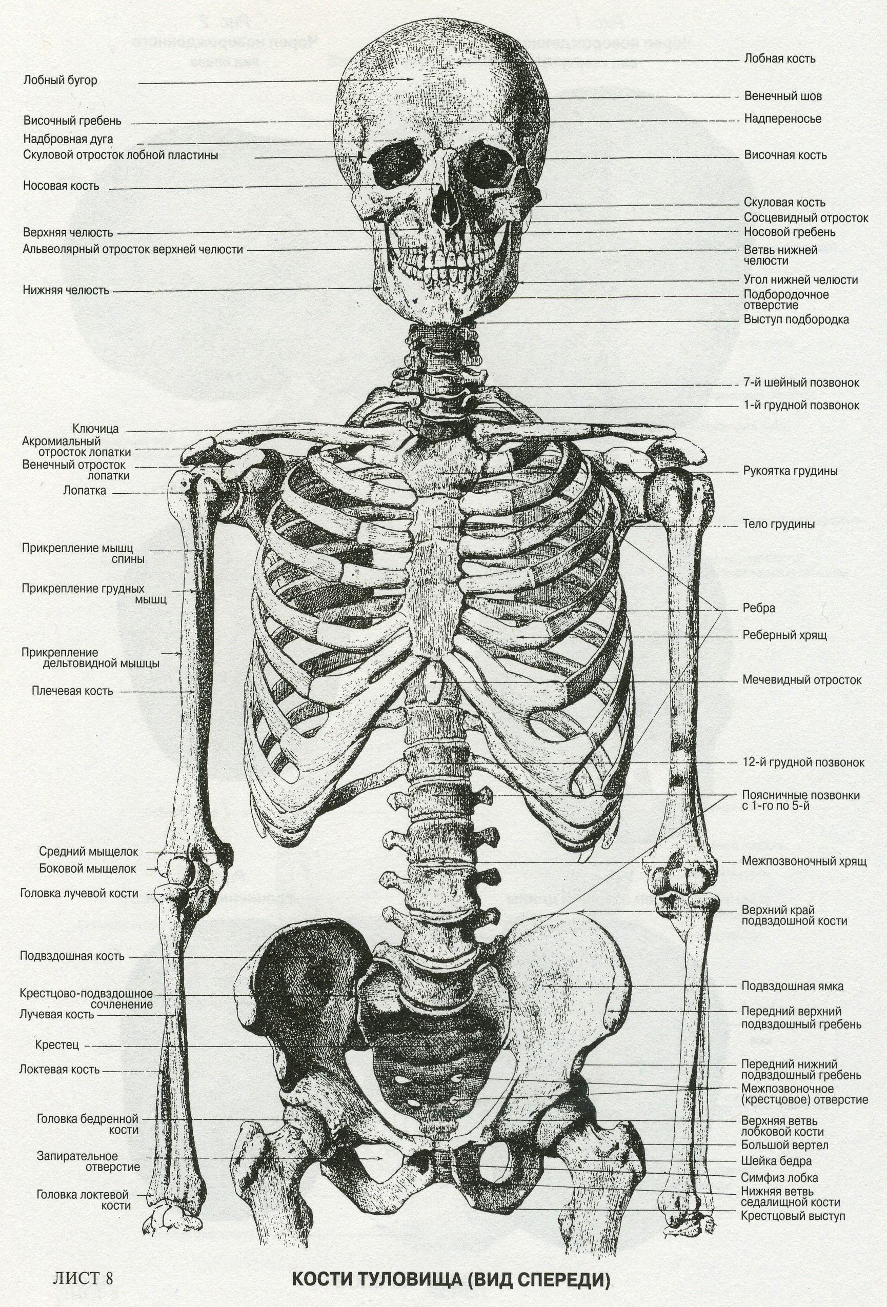 Pin von Kimberly Paine auf anatomy love | Pinterest | Medizin, Der ...