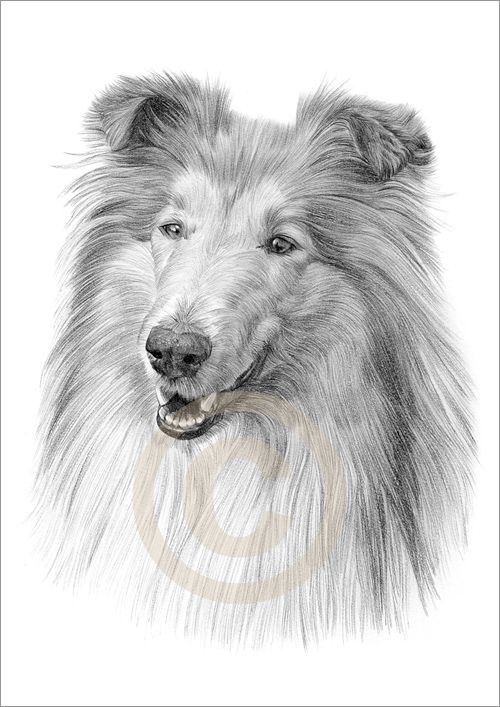 Drawing Collies Details About Dog Rough Collie Art Pencil