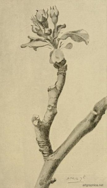 apple branch motif | Tree | Pinterest | Anatomy, Drawing trees and ...