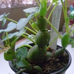 Senecio articulatus v. globosa