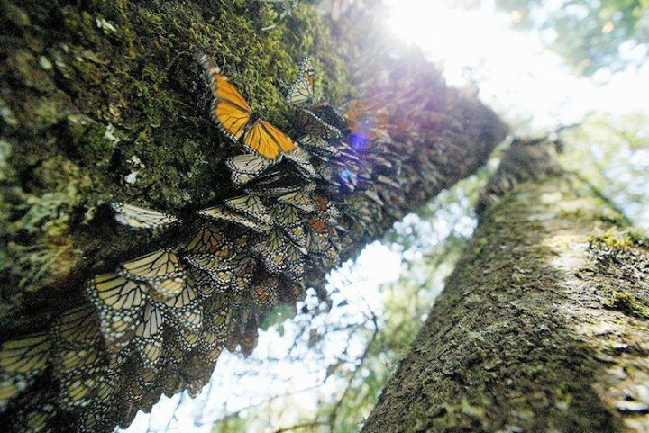 Drones Uncover Illegal Logging in Critical Monarch Butterfly Reserve http://buff.ly/293Qeun