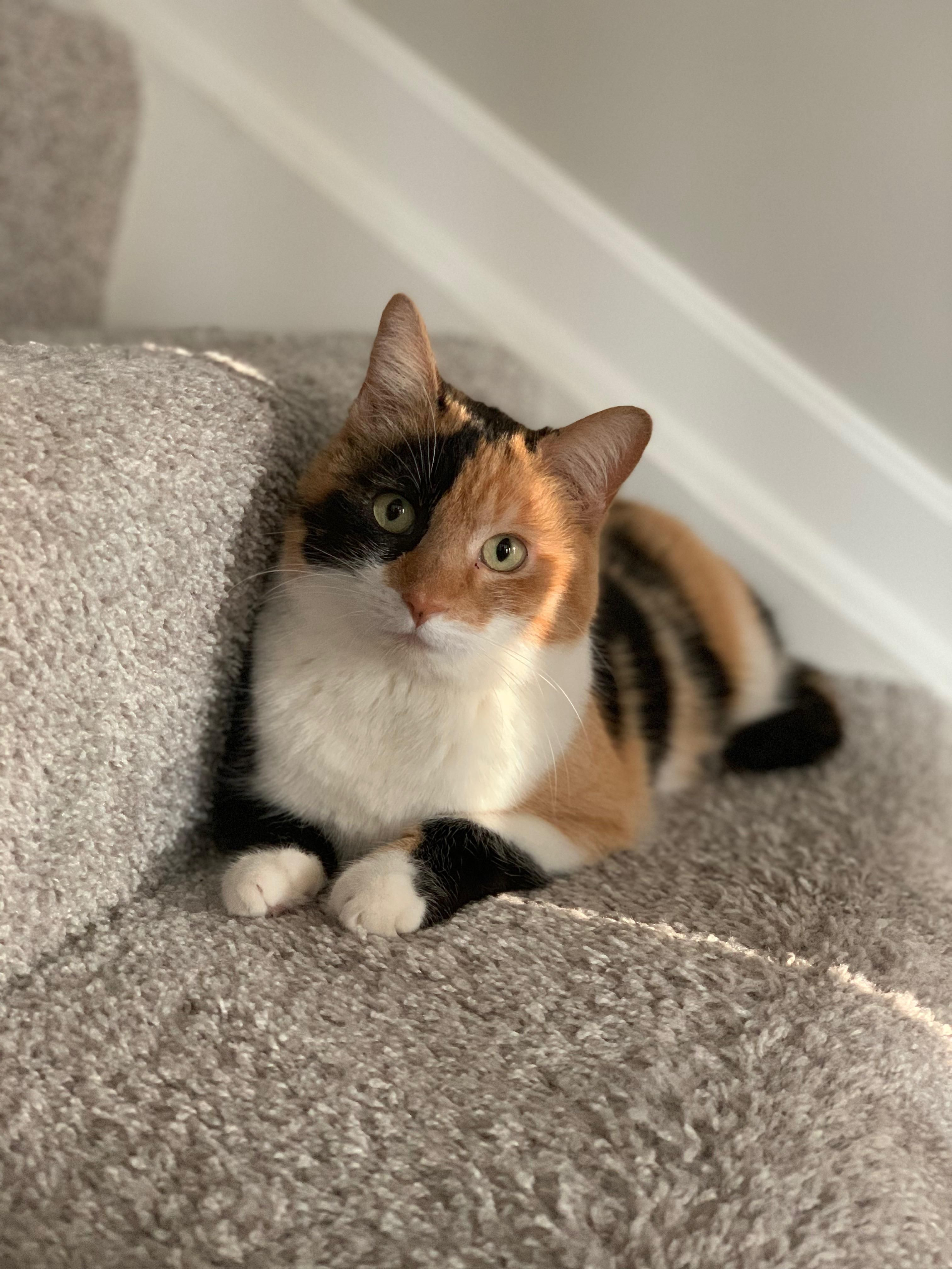 We Adopted This Beautiful 3yr Outdated Female Now Reddit Satisfy Ali Cuteanimals Fun Funnypictures Kittens Funny Cute Cats Cute Cats Funny Cat Pictures