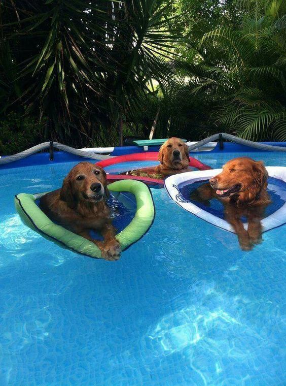 Here Are Eight Life Hacks For Dogs Using Pool Noodles Goldenretrieverfunny Dog Pool Dog
