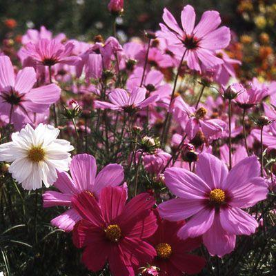 Dwarf Cutesy Mixed Colors Cosmos Annual Seeds Cosmos Bipinnatus Color Mixing Color Cosmos
