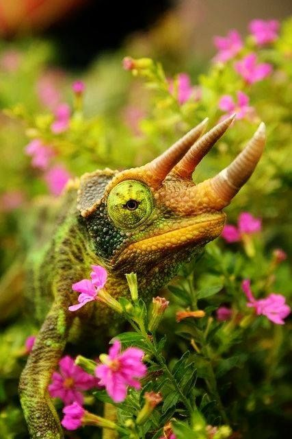 Chameleon in the wild flowers