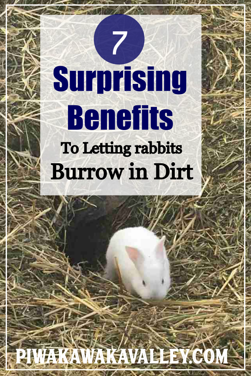7 Surprising Benefits to Allowing Rabbits to Burrow in Dirt - Raising rabbits for meat, Meat rabbits, Pet rabbit care, Raising rabbits, Rabbit, Rabbit breeds - If you are looking for a way to get happier, healthier rabbits then letting them burrow in a colony is what you need to be doing  Here's why