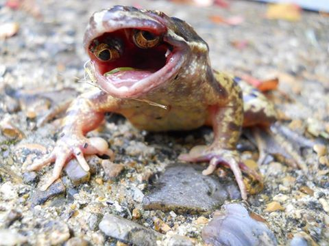 Mutant frog with eyes in mouth - Album on Imgur