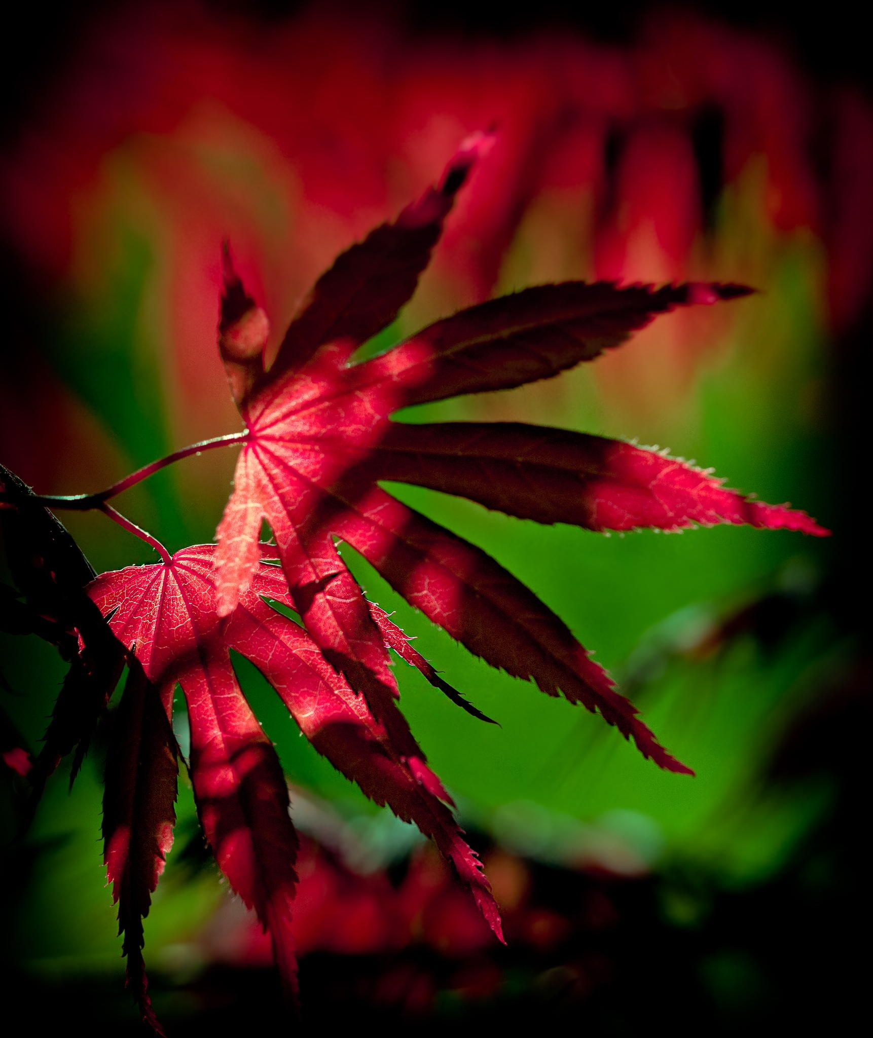 Red Maple by BRIAN KEYES on 500px