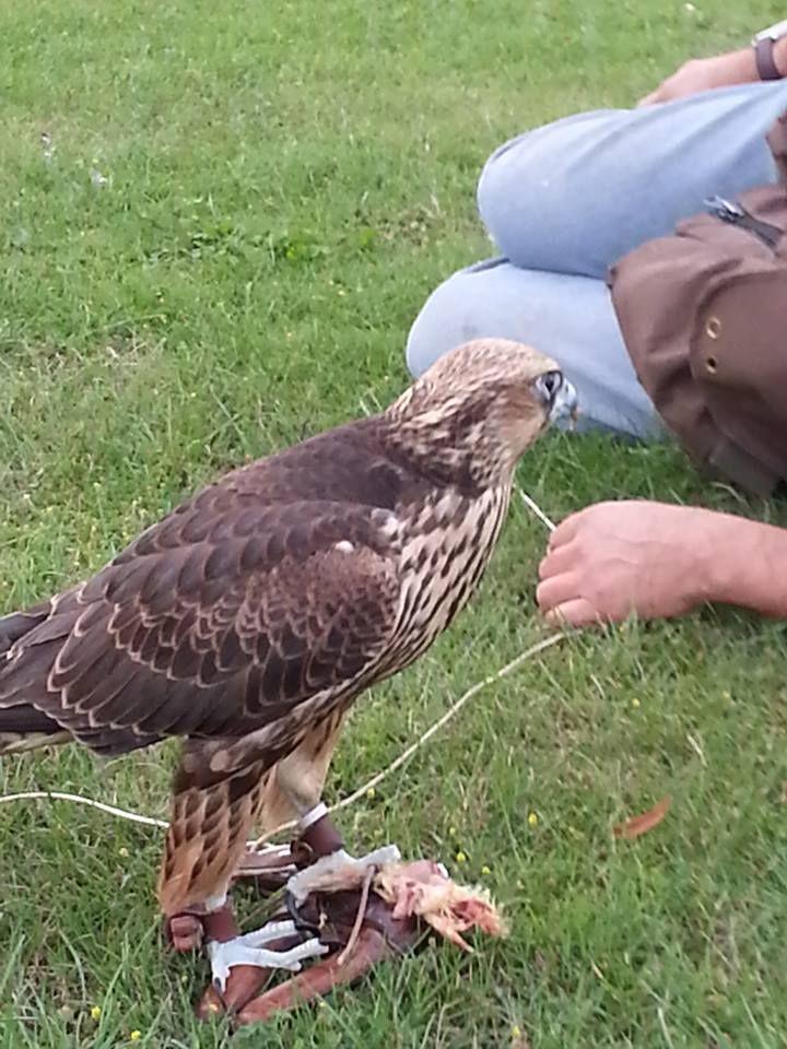 Training Falcon Birds Of Prey Eagle Hunter Raptors Bird