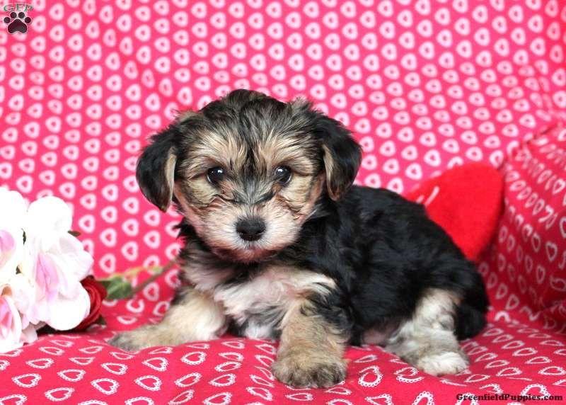 Frisco yorkiechon puppy for sale in pennsylvania