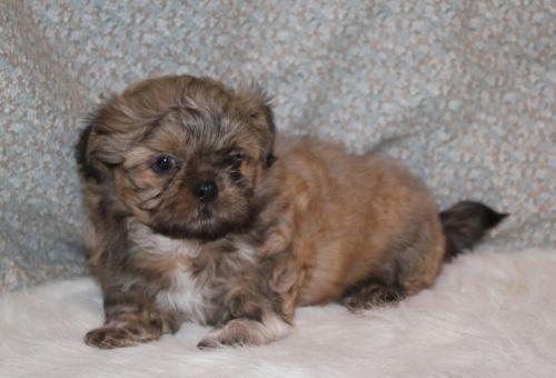 Sweet and Spunky AKC Shih Tzu Puppy For Sale 750 www