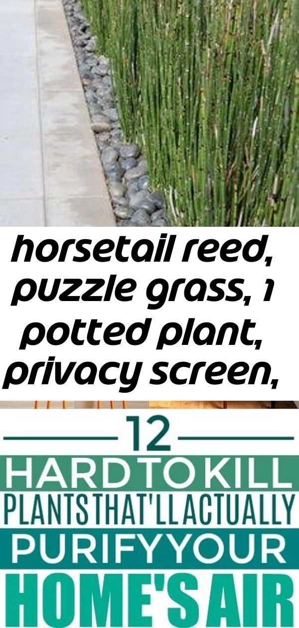 Horsetail reed, puzzle grass, 1 potted plant, privacy