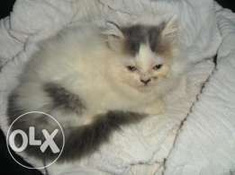 Persian Cat/Kitten   Pet Lovers   Cats, Cats for sale, Cats