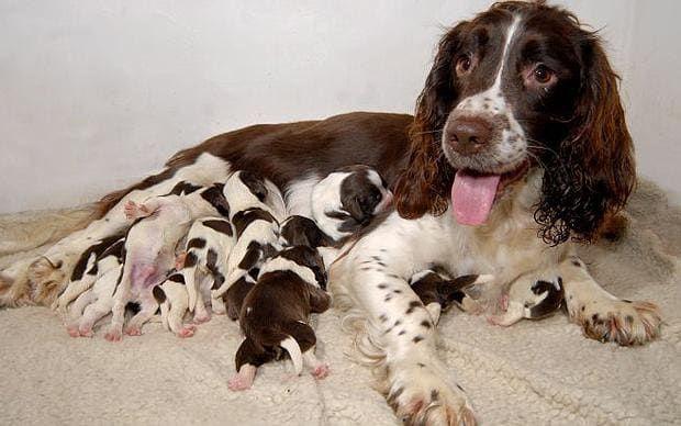 Springer Spaniel Supermum S Record Litter Spaniel Puppies Springer Spaniel Springer Dog