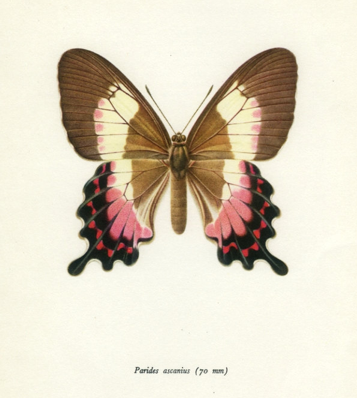 Pink, brown, red, black and white butterfly.