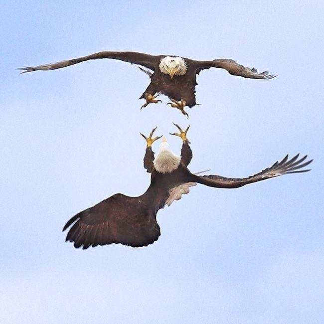 Bald eagle courtship ritual video