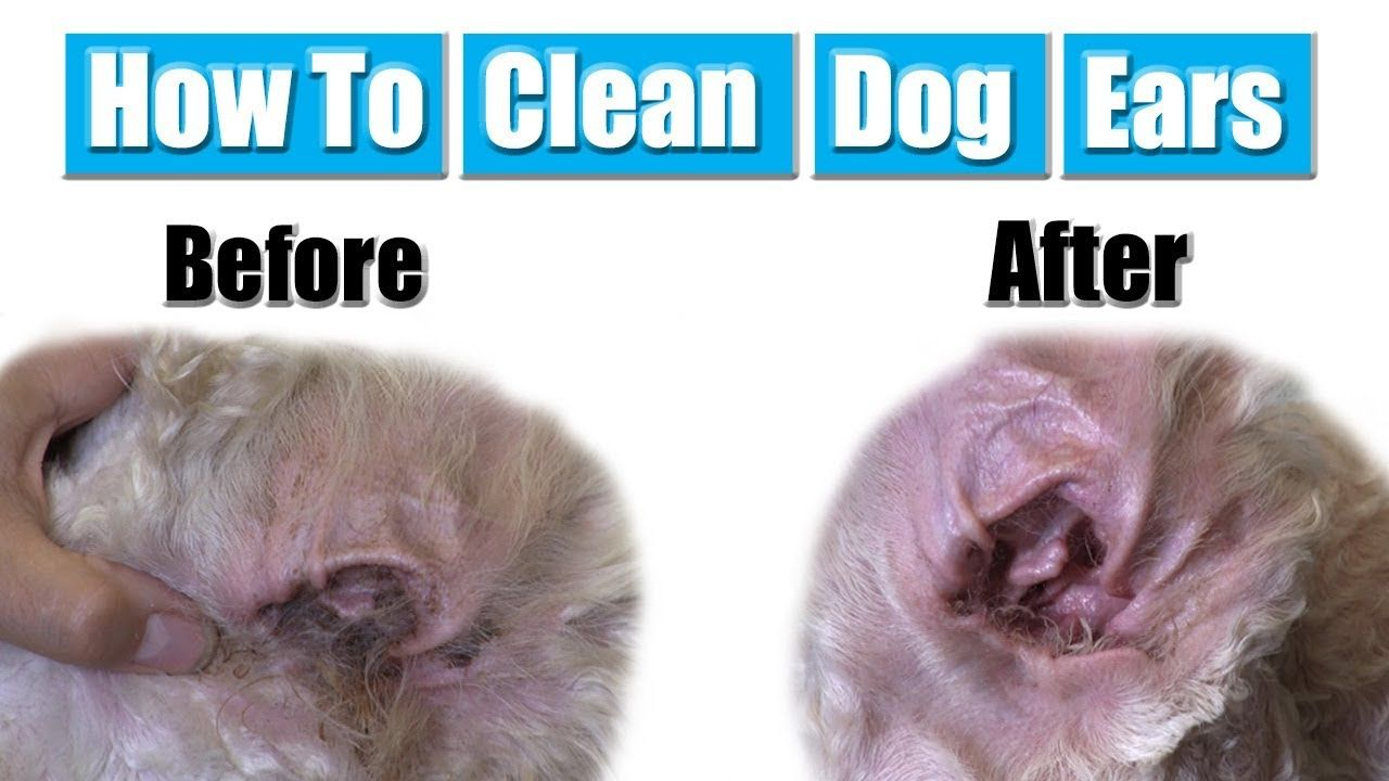 How To Clean Dog Ears YouTube Cleaning dogs ears, Dog