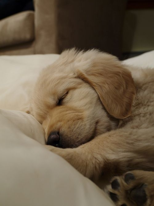 Sleeping Golden Retriever Puppy Sleeping Puppies Retriever