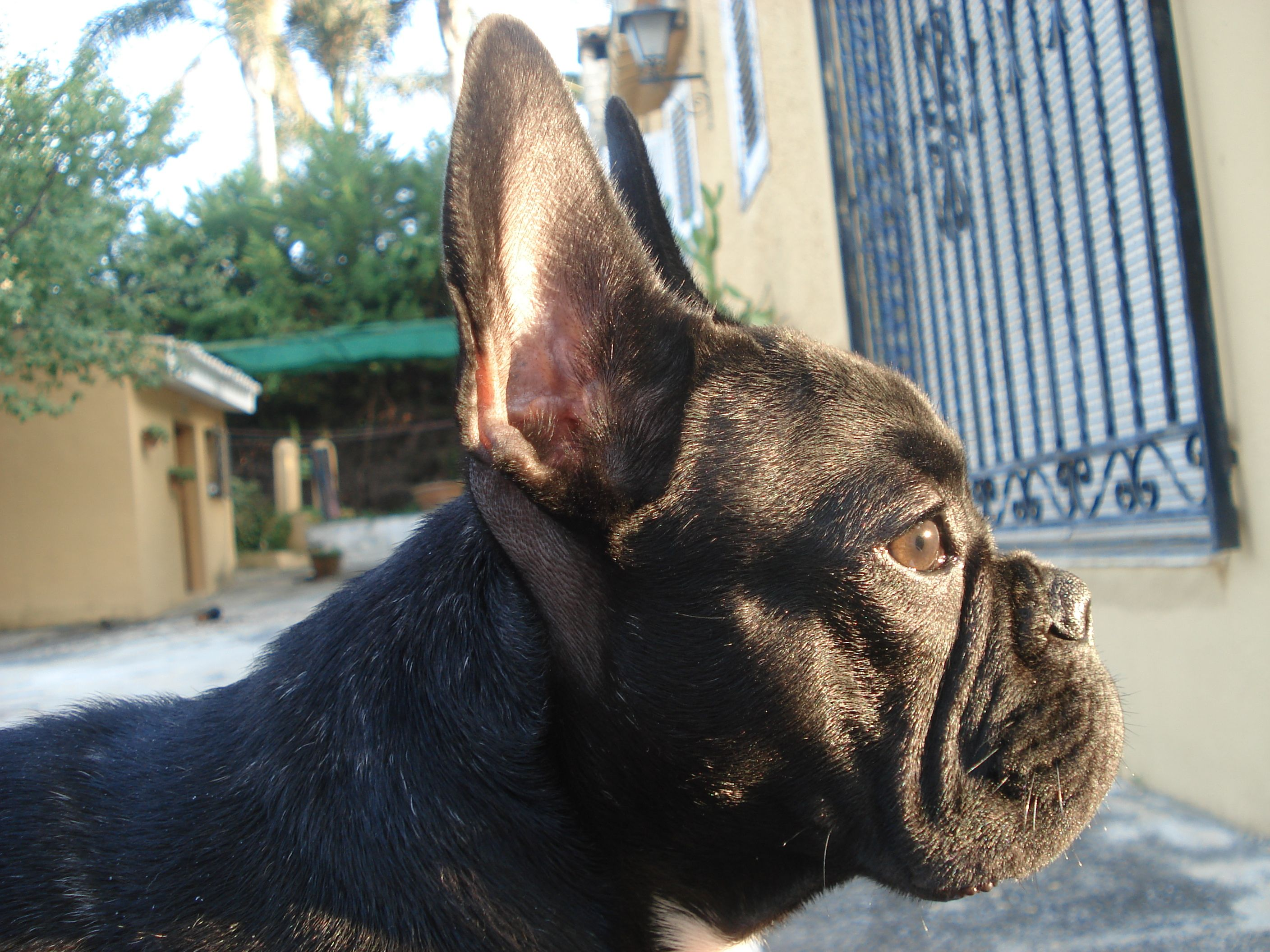 mi frenchie al atardecer! French Bulldog ️ (With images