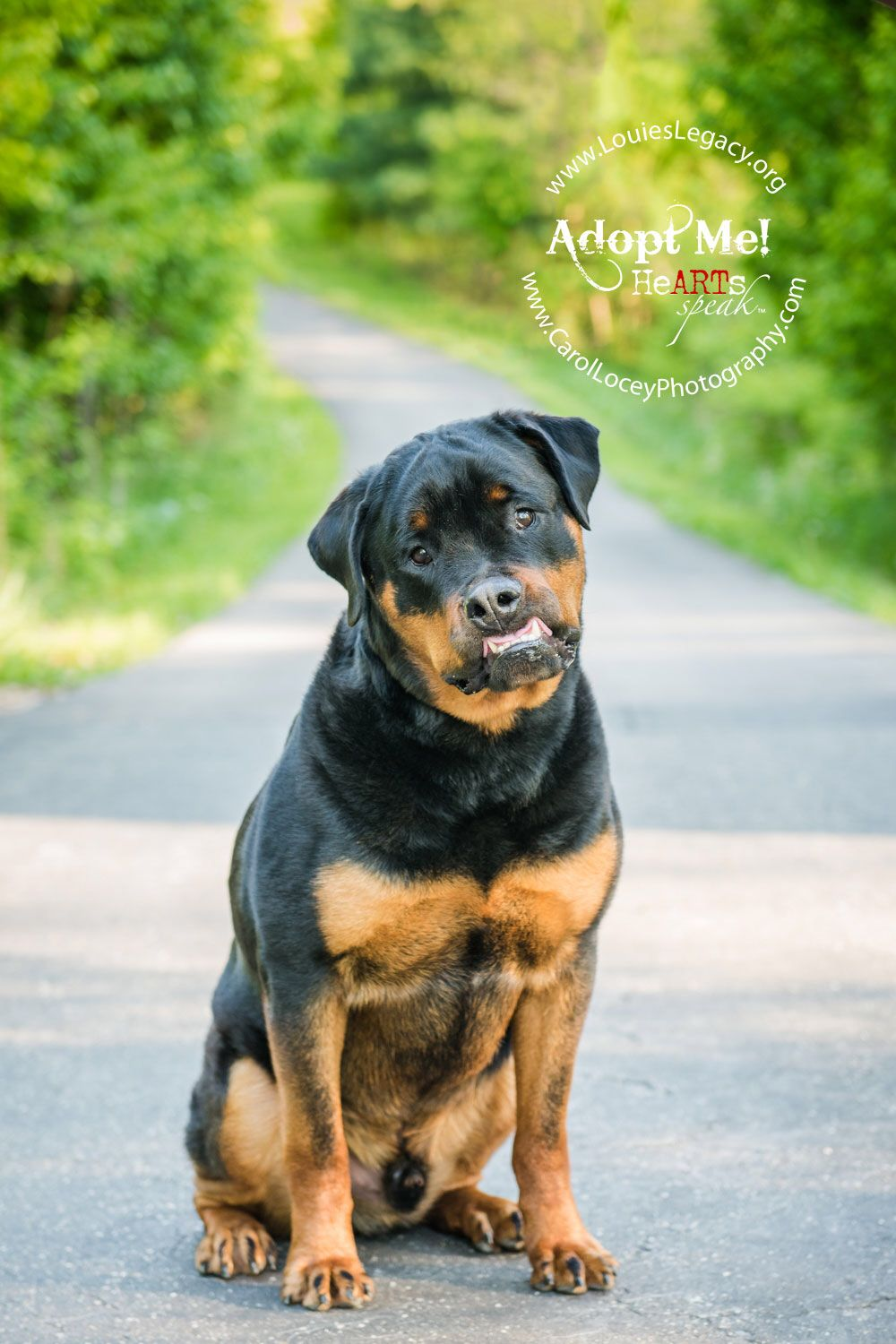 Damian Available For Adoption Through Www Louieslegacy Org Ohio Rottweiler Mix Pets Rottweiler