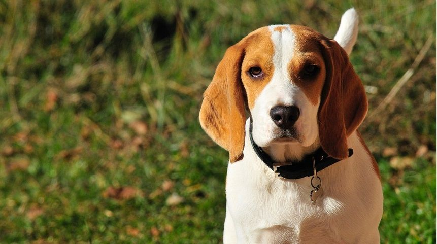 Stop Beagle Biting Problems Dogtraining Beagle Dog Beagle