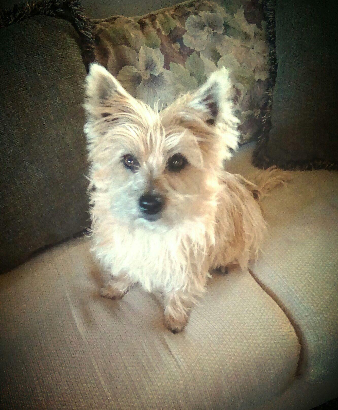 Cairn Terrier | Cairn terrier, West highland terrier, Cute ...