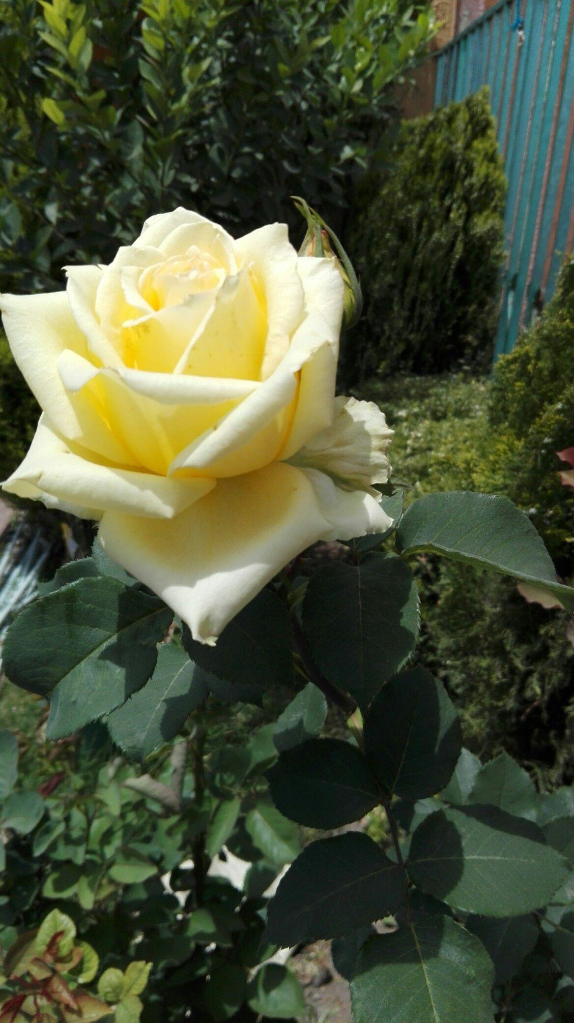 Rosa muñ