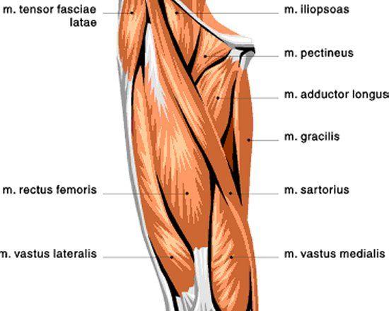 Quad Building 101 Upper Leg Muscles Muscle Diagram Hip Flexor
