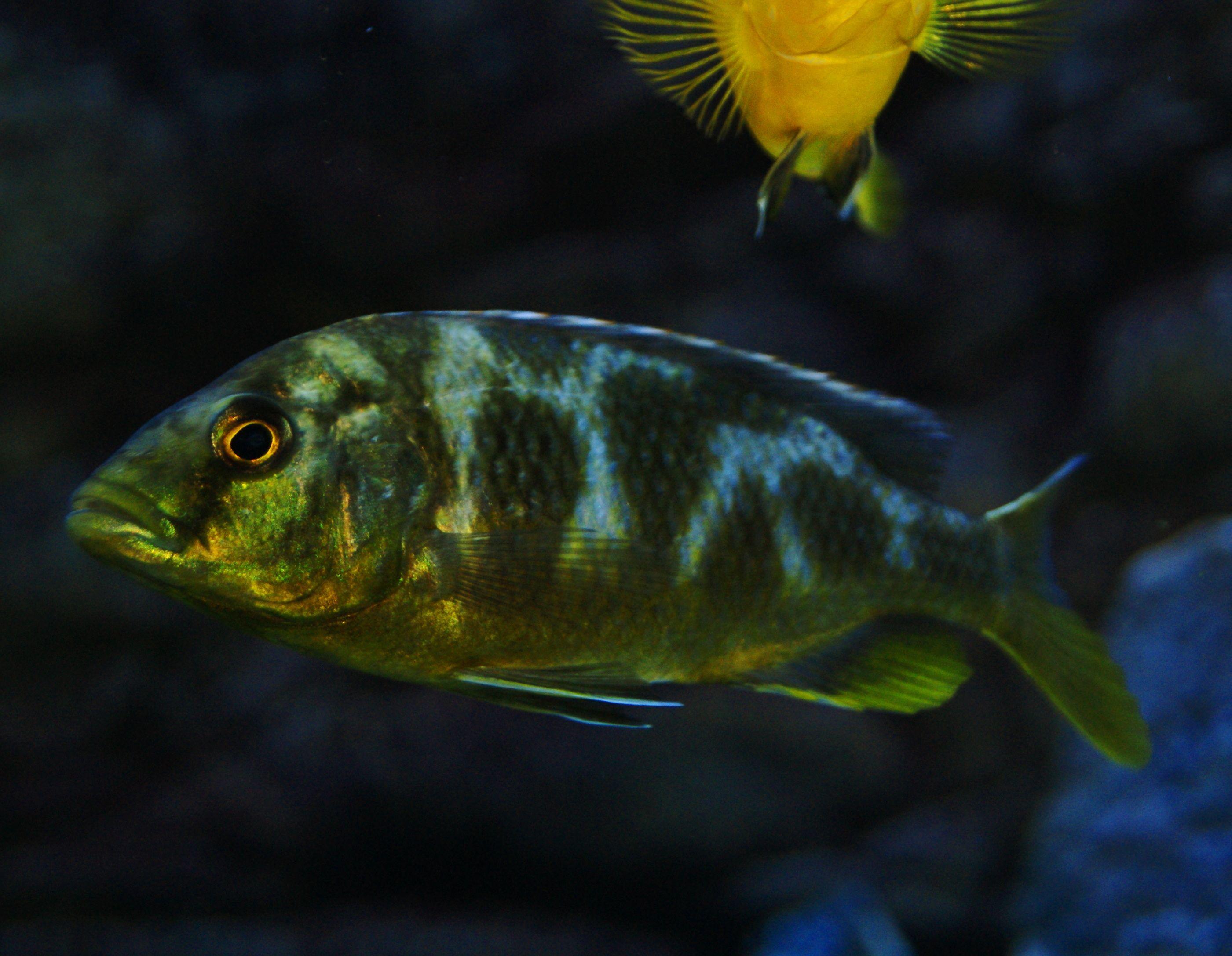 Nimbochromis Sp Venustus African Cichlids Cichlids Malawi Cichlids