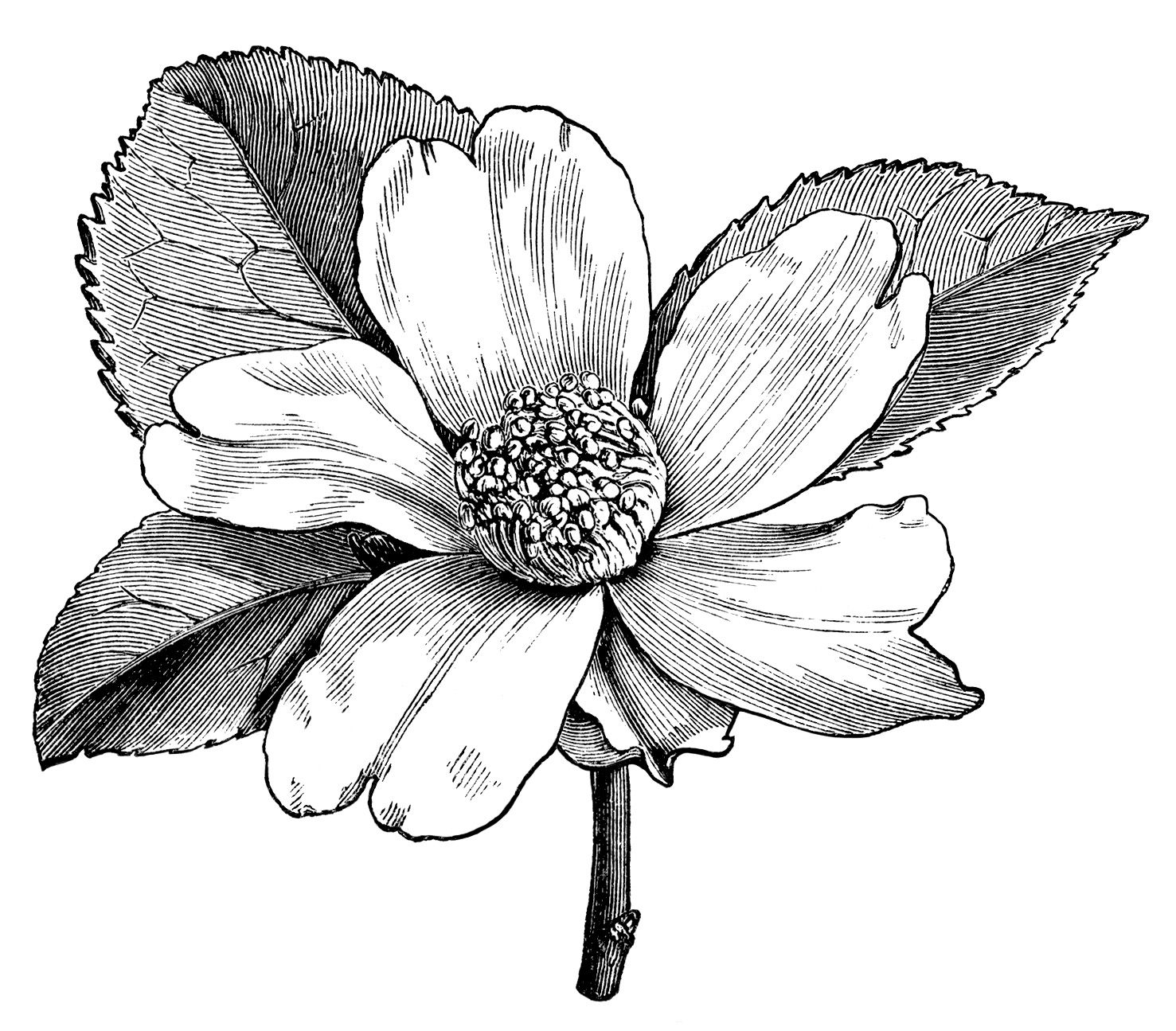 Camellia oleifera, camellia flower illustration, black and white ...